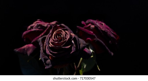 Beautiful roses with a black background