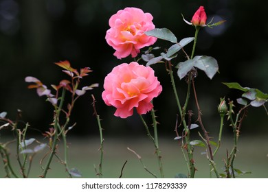 Beautiful roses blossom in the garden