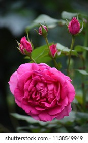 Beautiful roses in the garden.