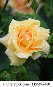 Beautiful roses in the garden after the rain.