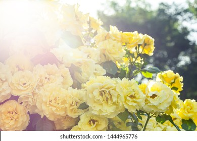 Beautiful roses isolated with blurred background