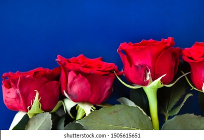 Beautiful roses on bright radiant blue background, festive concept.
