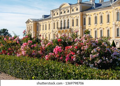 Beautiful roses in the park of the Rundale Palace in Latvia