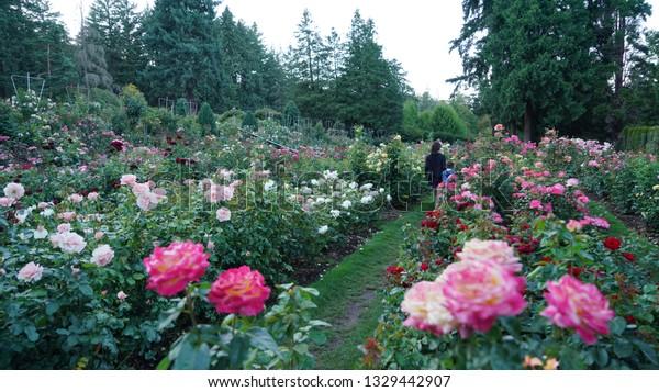 Beautiful roses at the Portland International Rose Test Garden in Oregon.