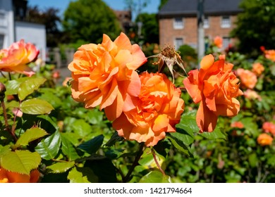 Beautiful roses, public park of Abbey Kamp, Germany