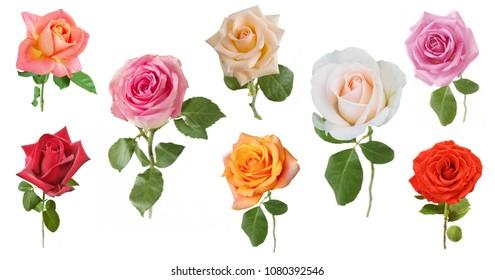 Beautiful roses set isolated on white background