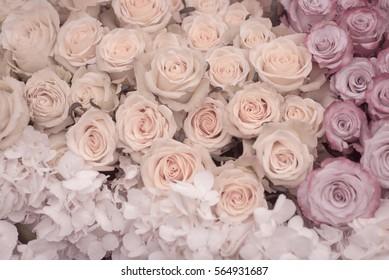 Beautiful roses in soft pastel colors