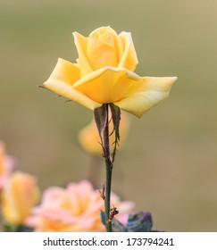 Beautiful roses yellow