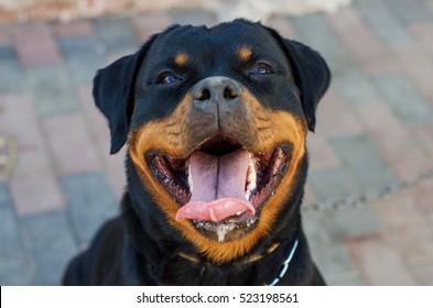 Beautiful Rottweiler dog