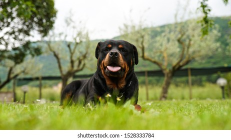 Beautiful rottweiler dog lying on the grass in the garden and pulling its tongue out. Cute dog playing outdoors. Rottweiler portrait at the park
