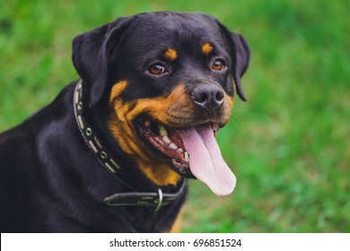 Beautiful Rottweiler dog. Rottweiler dog in park with leash looking