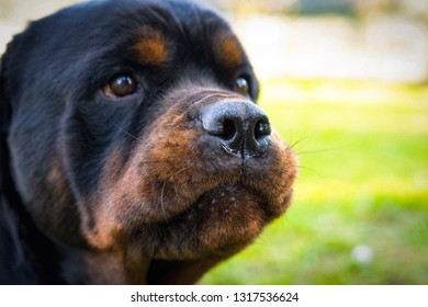 Beautiful rottweiler portrait on the blurred background in the garden. Amazing watchdog muzzle with faithful eyes outdoors. Close-up photo