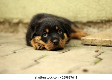 Beautiful Rottweiler puppy, age six weeks. Photographed in difficult conditions at the kennel