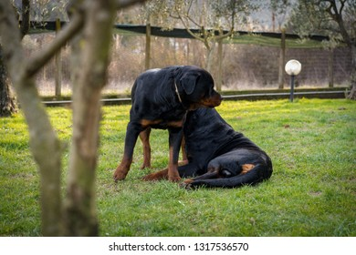 Beautiful rottweilers in the garden. Watchdogs guarding their territory