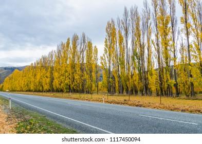 Beautiful rows of trees in autumn season along the roadside in New Zealand.