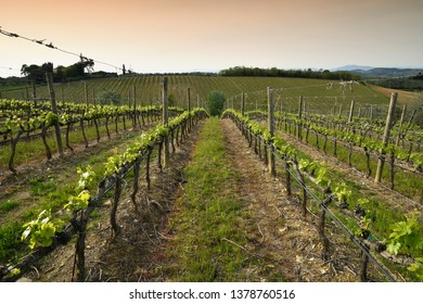 Beautiful rows of young green vineyards near Mercatale Val di Pesa (Florence) in spring season at sunset. Tuscany, Italy.