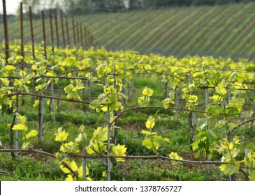 Beautiful rows of young green vineyards in Tuscany region at sunset. First shoots of the vine plant. Italy.