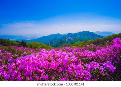Beautiful Royal Azalea Flower at Hwangmaesan mountain in Hapcheon city of South Korea. Hwangmaesan mountain with beautiful Royal Azalea Flower during Spring season. Beautiful nature of Hwangmaesan Mt.