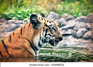 Beautiful Royal Bengal Tiger , Panthera Tigris, bathing in water. Tinted image. It is largest cat species and endangered , only found in Sundarban mangrove forest of India and Bangladesh.