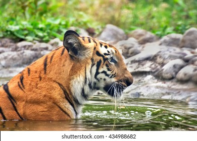 Beautiful Royal Bengal Tiger , Panthera Tigris, bathing in water. It is largest cat species and endangered , only found in Sundarban mangrove forest of India and Bangladesh.