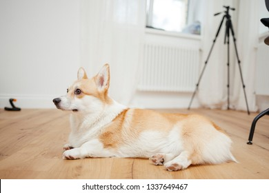 Welsh Corgi Sitting In Profile Womens Tee image By Shutterstock Men's Clothing