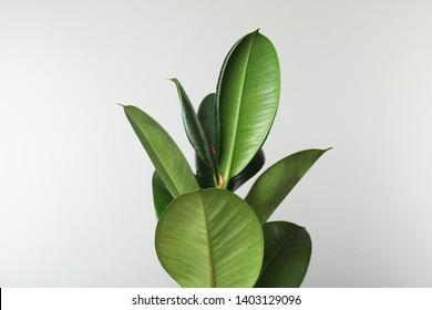 Rubber Plant Images, Stock Photos & Vectors | Shutterstock