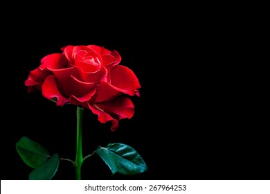 Purple Roses On Black Background Images Stock Photos Vectors Shutterstock