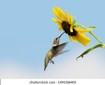 Beautiful Ruby-throated Hummingbird getting nectar from a wild Sunflower with blue sky and some clouds on the background