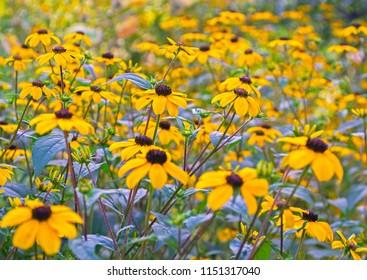 Beautiful Rudbeckia flowers. Traditional autumnal bloom & flower of prairie. Selective focus