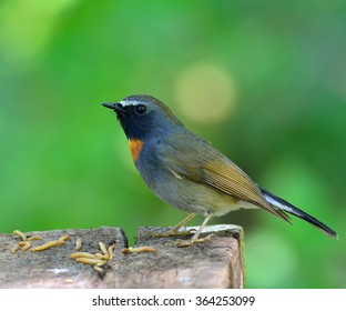 Beautiful Rufous-gorgeted flycatcher (Ficedula strophiata) standing on the flatted wooden with many worms bait on nice green blur background