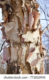 Beautiful rugged bark of a river birch tree