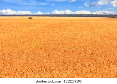 Beautiful rural landscape of a bright orange field of ripe beans growing in autumn against a blue cloudy sky.