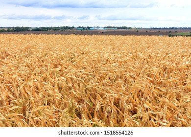 Beautiful rural landscape of a bright yellow field of corn on an autumn field against the background of an agricultural tractor in the distance and blur and cloudy sky.
