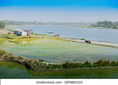 Beautiful rural landscape of Paddy field with river and blue sky in the background. A man ploughing agricultural field with cows, Kolkata, West Bengal, India