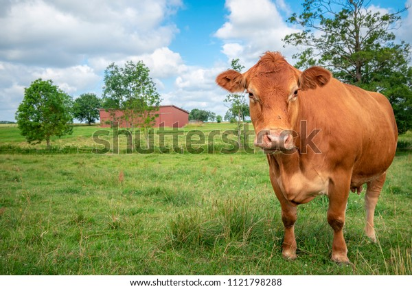 Beautiful rural landscape with a reddish cow of the Limpurger breed, looking to the camera, on a green pasture, near Schwabisch Hall, Germany.