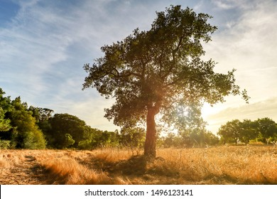Beautiful rural portuguese landscape with Old Cork oak tree (Quercus suber) in evening sun, Alentejo Portugal Europe