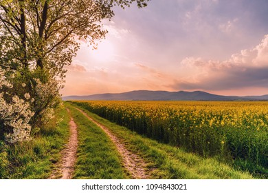 Beautiful rural road on a sunset with rapeseed field and blooming cherry trees. Magic evening landscape in Slovakia