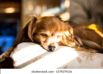 Beautiful Russian Toy Terrier Dog laying on a couch on a sunday afternoon 2