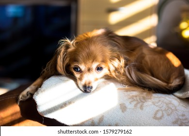Beautiful Russian Toy Terrier Dog laying on a couch on a sunday afternoon 5