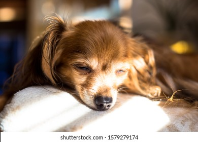 Beautiful Russian Toy Terrier Dog laying on a couch on a sunday afternoon 4