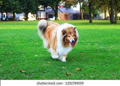 A beautiful Sable & White rough collie walking on the grass in the park in autumn