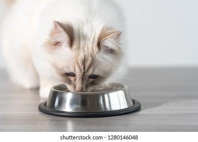 Beautiful sacred cat of burma eating dry cat food on the floor