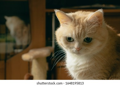 Beautiful sad cream cat sits on a chair in the room