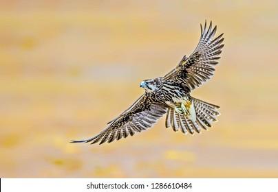 Beautiful Saker Falcon