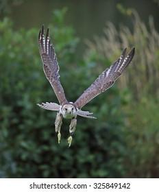 A beautiful Saker Falcon in flight