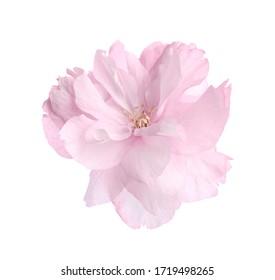 Beautiful sakura blossom isolated on white. Spring season
