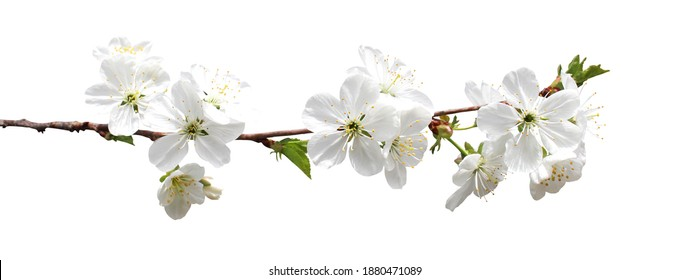 Beautiful sakura cherry blossom flowers isolated on white background. Natural floral background. Floral design element