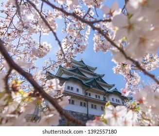 Beautiful sakura or cherry blossom in spring season in Nagoya Castle in Nagoya city Aichi prefecture, Japan.
