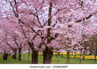Schöne Sakura Kirschblühbahn. Wunderschöner Landschaftspark mit blühenden Kirschsakurenbäumen und grünem Rasen im Frühjahr, Deutschland. Rosa Blumen von Kirschbaum.