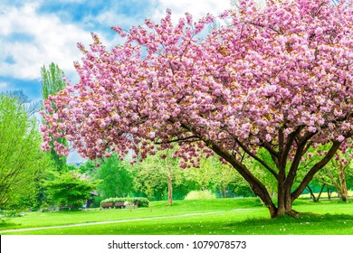 Beautiful sakura tree in the park in Kreuzlingen city, Switzerland